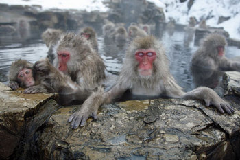 monkey in hot spring.jpg